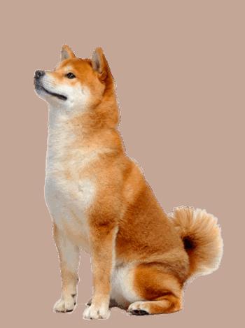 利基市場-柴犬